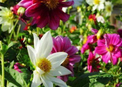 chiang mai, royal flora ratchaphruek - flowers