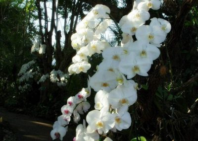 chiang mai, royal flora ratchaphruek - white orchids