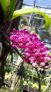 chiang mai,royal flora - orchids