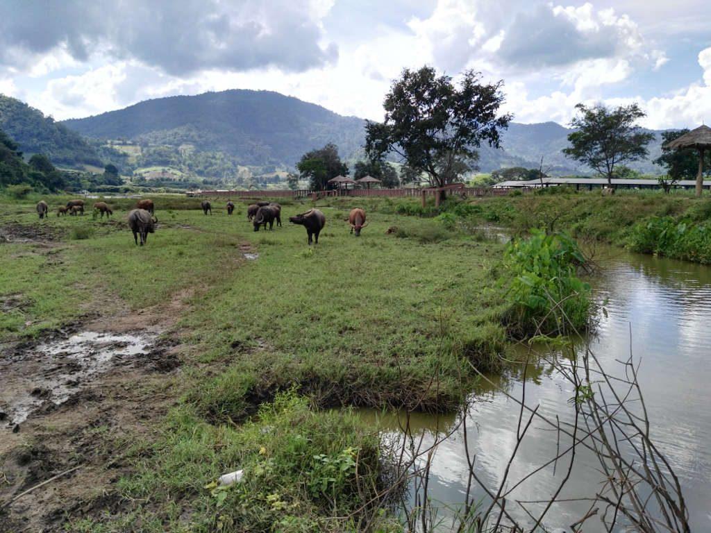 chiang mai - elephant camp - buffalos at mae taeng river